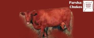 Parsha Chukos - The Red Heifer